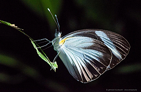 Black Banded White Butterfly (Itaballia demophile) roosting on a leaf at night.