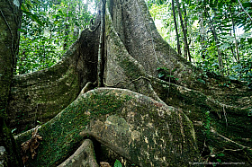 Large ficus tree with buttress roots, Amazon basin rainforest, Tambopata Reserve. Peru