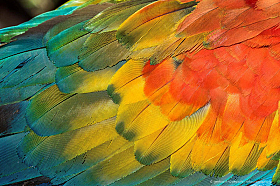 Closeup of colorful wing feathers of scarlet macaw (Ara macao), Tambopata reserve, Peru