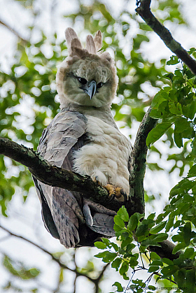 Harpy eagle (Harpia harpyja), the largest raptor of the Americas. Tambopata