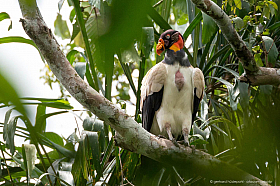 Colorful king vulture (Sarcoramphus papa) surrounded by flies, Tambopata Reserve, Peru