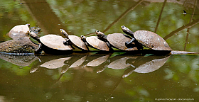 Yellow-spotted Amazon river turtles (Podocnemis unifilis) lined up on tree log, Tambopata Reserve, Peru