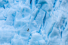 Seal gull flying in front of a massive glacier in Antarctica