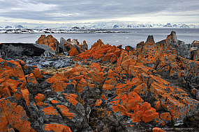 Rocks covered with bright red lichens in Antarctica
