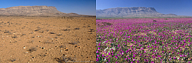 Comparison of the same Atacama location in a dry year and an El Nino year with desert blooming
