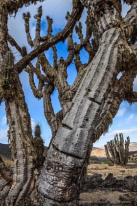 Old Eulychnia iquiquensis cactus in Pan de Azucar national park