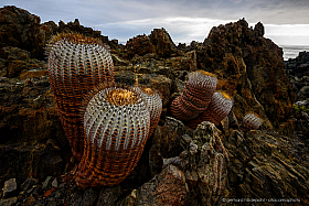 Copiapoa cinerea cactus at the Atacama coast near Taltal