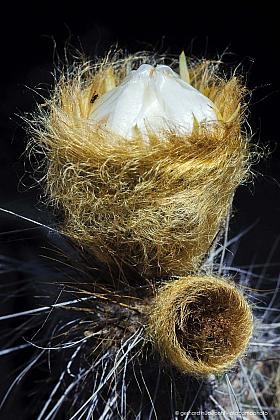 Colita de oveja (Eulychnia breviflora), cactus flower. Pan de Azucar National Park, Atacama desert.