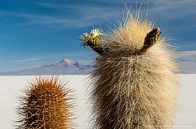 Cardon cactus (Echinopsis atacamensis ssp. pasacana) blooming at Salar de Uyuni, Bolivia