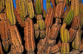 Corryocactus brevistylus at sunset, Atacama desert