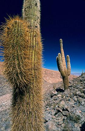 Giant Cardon cactus (Echinopsis atacamensis), Rio Puritama near San Pedro de Atacama
