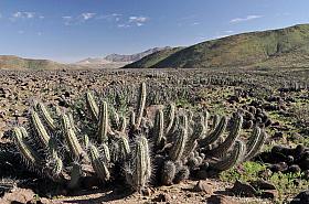 Eulychnia acida cactus in Valle de Huasco near Freirina, Atacama desert