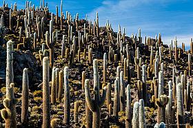 Dense forest of giant cactus (Echinopsis atacamensis ssp. pasacana), Isla del Pescado, Salar de Uyuni