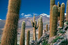 Giant cardon cactus (Echinopsis atacamensis) in the Andes of Chile, near San Pedro de Atacama