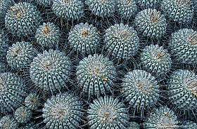 Clumps of Copiapoa Cactus (Copiapoa dealbata) at the Atacama coast near Carrizal, Chile