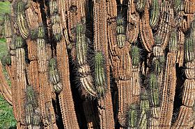 Eulychnia cactus near Taltal, coastal Atacama desert