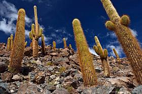 Giant Cardon cactus (Echinopsis atacamensis) at Rio Puritama near San Pedro de Atacama