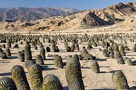 Copiapoa cactus (Copiapoa cinerea ssp. columna-alba) in Pan de Azucar National Park