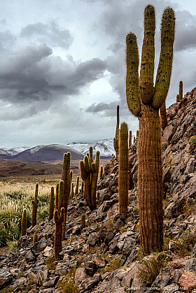 Echinopsis atacamensis cactus forest with mountains and dark cloudy sky
