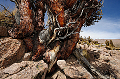 Quenoa de altura (Polylepis tarapacana), the highest living tree on earth