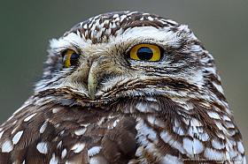 Burrowing owl (Athene cunicularia) portrait, Pan de Azucar national park, Atacama Chile