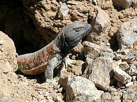 "Black-head lizard (Liolaemus nigriceps), one of the most beautiful ""dragons"" of the Atacama"