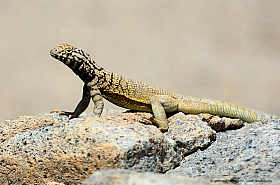 Corredor de Tarapaca lizard (Microlophus tarapacensis), Quebrada El Medano, Atacama desert