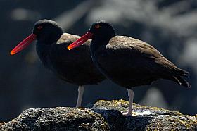 Two blackish oystercatchers (Haematopus ater), Pan de Azucar National Park