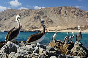 Pelicans (Pelecanus thagus) at Atacama desert coast, Pan de Azucar National Park