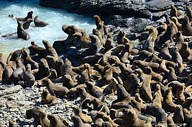 Large group of South American Fur Seals at the coast of Atacama near Antofagasta
