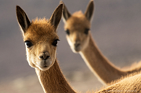 Vicuna portrait at Lauca National Park, Chile