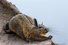 Mountain viscacha stretching out its legs at Lauca National Park in Chile