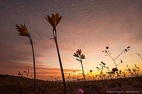 Silhouette of desert flowers against sunset, Atacama desert in bloom