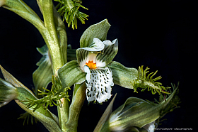 Flor de Bigote (Bipinnula fimbriata), an endemic orchid of central and northern Chile