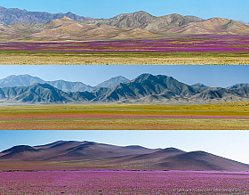 Three panorama photos of Atacama desierto florido in Chile. Carpets of flowers paint the desert with colors
