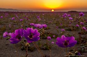 A carpet of Pata de guanaco flowers at sunset, desierto florido Chile 2017