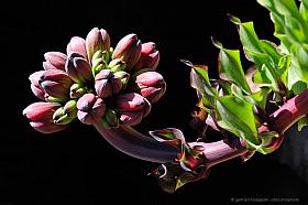 Buds of Garra de Leon or Lions Claw, a rare endemic Atacama desert flower (Leontochir ovallei)