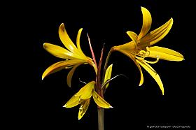 Añañuca amarilla (Rhodophiala bagnoldii), endemic yellow lily of the Atacama desert, Chile