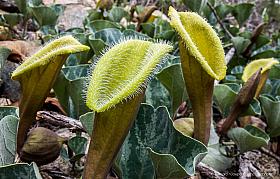 Oreja de Zorro or Yellow Fox's Ear (Aristolochia pearsei), Atacama desert Chile