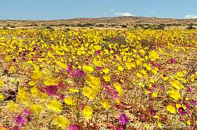 Long exposure of yellow flowers moving in the wind, Atacama Desert blooming