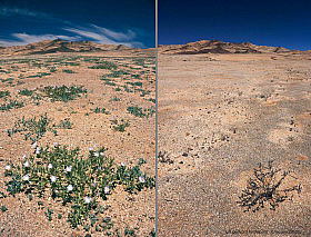 Comparison: Atacama desert in bloom and in a dry year