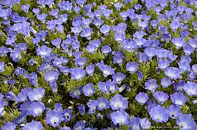 A carpet of blue Nolana flowers, Atacama Desert blooming