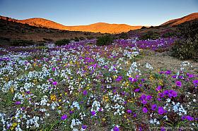 Colorful Atacama Desert in bloom just before sunset