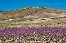 Desierto Florido 2015 in the Atacama desert near Copiapo