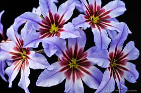 Glory of the Sun (Leucocoryne purpurea), a beautiful blue flower of Atacama Desert, Chile