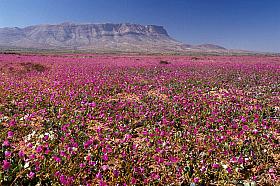Large field of Pata de Guanaco flowers near Vallenar, Atacama Desert in Bloom, Desierto Florido