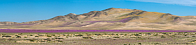 Panorama of Atacama desert in bloom, covered with lilac flowers