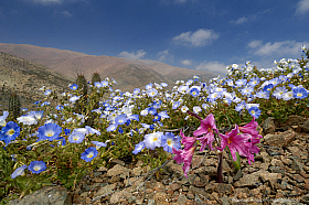 Rare event of blooming desert after a rainy winter, Reserva Nacional Paposo