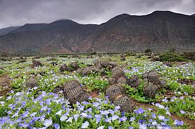 Copiapoa cactus and blue Nolana desert flowers in bloom, coastal Atacama desert of Paposo