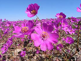 Close-up of Pata de guanaco, a typical flower of the Atacama desert in bloom. Desierto florido